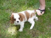 Cavalier King Charles Spaniel, 9 Weeks, First Shots,
