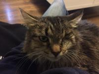 Eloise Brown Tabby Female 10 years old 9 lbs.   I was