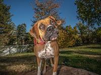 Elsa's story I am a 2 year old fawn female Boxer. I am