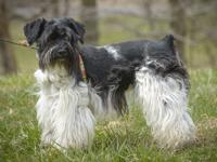 ELSA is a 1 year old Schnauzer mix.  She arrived with