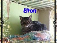 Elton's story Elton is a male, gray mix DSH Tabby; DOB