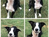Elvis P's story Elvis is a 3 year old border collie He