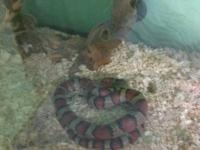 California King Snake for sale with all accessories