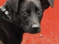 My story Elvis-9 month old Male Lab MixLabs are