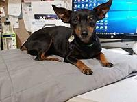 Emaley's story Name: Emaley Breed: Min Pin Age: 8