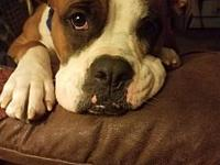 My story Meet Ember! Boxer beauty? All natural,