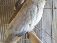 Emerald cockatiel available .. whiteface emerald
