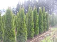 Emerald Green Arborivitaes, 4 foot to 9 foot, we dig
