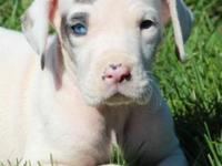 We have an AKC female harlequin Great Dane puppy