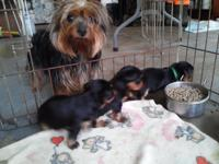 Mom Emily is a AKC 5 lbs Yorkie & & Dad Buddy is AKC