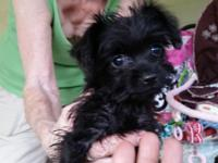 Mommy Emily is a small AKC blk & gold yorkie! She's