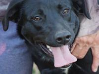This gorgeous girl is Emma, a 10-12 month old black Lab