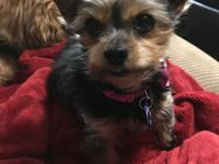 This is Emma. She is a darling, 7 year old Yorkie. She