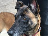 My story Emmie is a beautiful proud Malinois girl, she