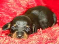 EMMY is a black & & tan miniature dachshund female