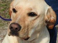 Emmy's story Emmy is a 2-year-old Yellow Lab (mix). She