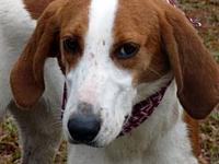 Emmylou's story Emmylou--Emmylou is a Fox/Walker hound