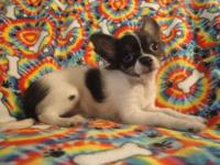 We have 1 adorable LH black & & white male chihuahua