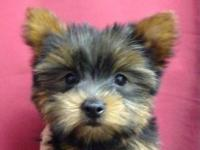 ***Energertic and playful yorkie puppies now ready for