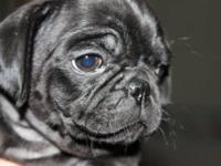 Easy Street Pugs will be showing AKC puppies in Fort
