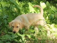 energetic Labrador Retriever Puppies Male And