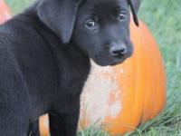 Avalanche is one of 10 English black lab puppies and is