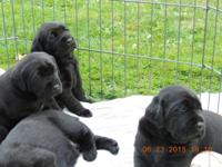 3rd Generation AKC American &English Black Lab Puppies