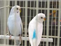 I have 6 budgies for sale. Two male english budgies and