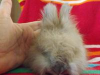 Animal Type: Rabbit I have a english angora doe for