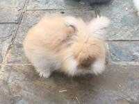 English Angora Bunnies born 2/21/2018 ready to go to