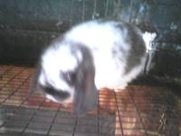 Purebred, black english angora buck rabbit. Very sweet,