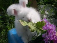 English or German Angora Rabbits For Sale Breed:
