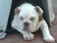 Akc english bulldog. Chocolate tri carrier, Dam dna is,