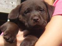 Looking for a Quality Lab Puppy For Your Family? BLOCKY