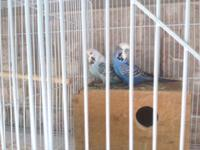 Beautiful english budgie limited amount left 50 each