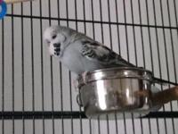 Male English Budgie, less than one year old. Not tame