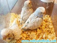 Beautiful collection of English budgies good size and
