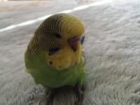 I am selling 2 English Budgie Parakeets and both of