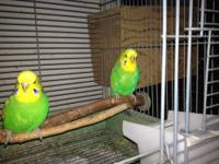 Hello, I have English Budgies for sale. $50.00 for