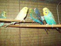 I have a surplus of English Budgies, Gold faces in