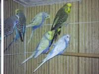 I have many reproducing age English budgies for sale