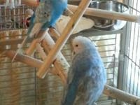 6 English budgies 3 males & 3 females. 3 males and 2