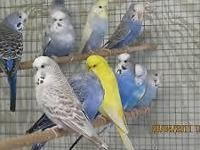 English Budgies for sale $50, each downsizing my stock,