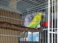 The English budgie is the most popular bird kept as
