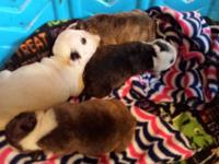 I have an awesome litter of Cherokee Legand Polar Bear