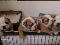 English bull dogs male and female coming with all