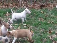 I have one male and three females bull terriers for