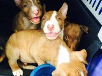 I have a beautiful litter of English Bull Terrier pups