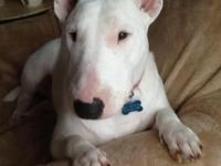 Sadly I have to re home my bull terrier she is a total