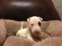 I have 7 beautiful English Bull Terriers puppies that